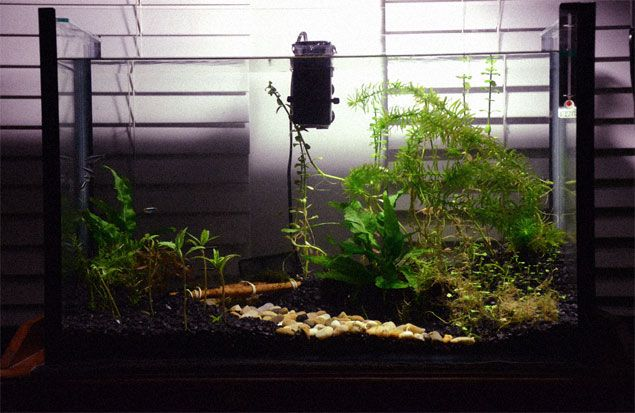 Photo of my aquarium. Featuring Nine Black Neon Tetra's and live plants